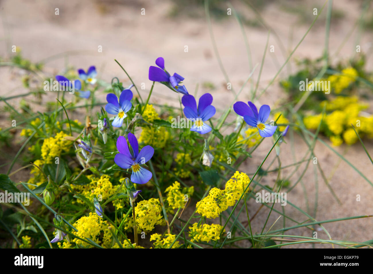 Pansy and Lady's Bedstraw; Viola tricolour and Galium verum Northumberland; UK - Stock Image