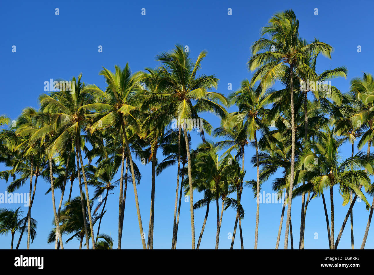 Palm trees against a blue sky in Hilo, Big Island, USA - Stock Image