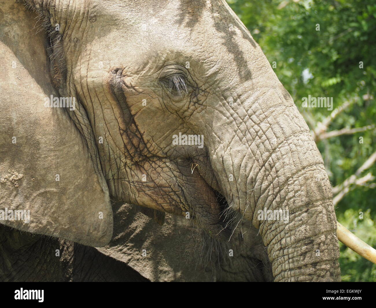 Old matriarch African elephant (Loxodonta Africana) with eyelashes & whiskers on upper & lower lips & - Stock Image