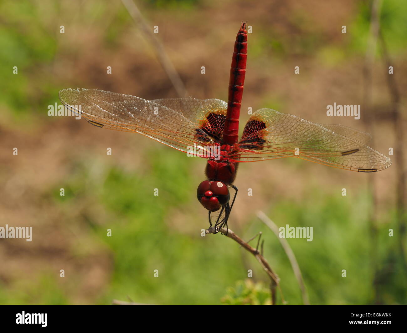 dark red dragonfly with gold veins at front edge of all wings and dark patches on hind wings in Selous Tanzania Stock Photo