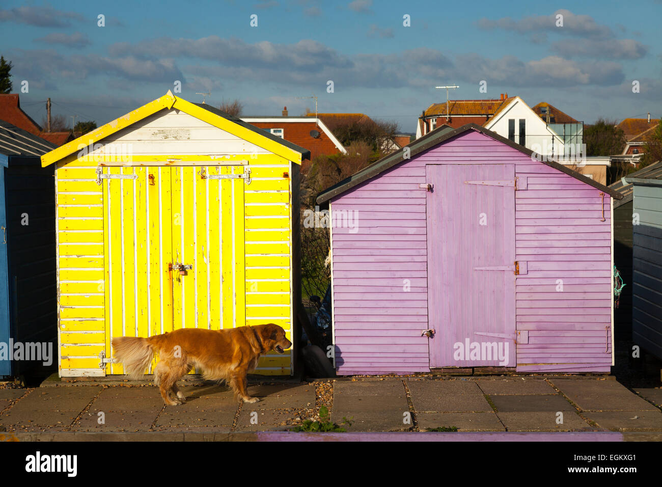 Golden retriever dog walking past colourful old beach huts Stock Photo