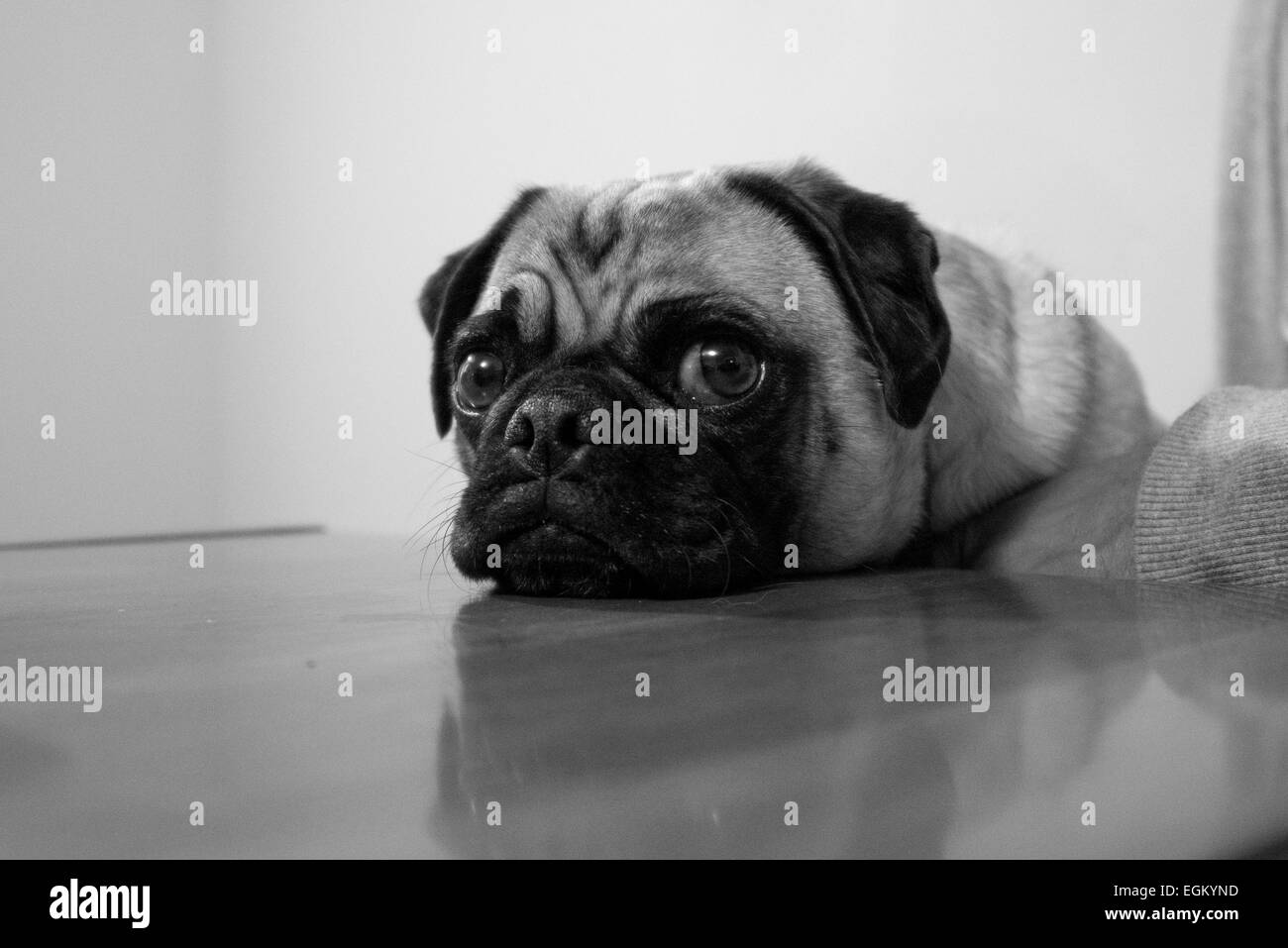 A pug rests his chin on a table looking quite innocent. - Stock Image