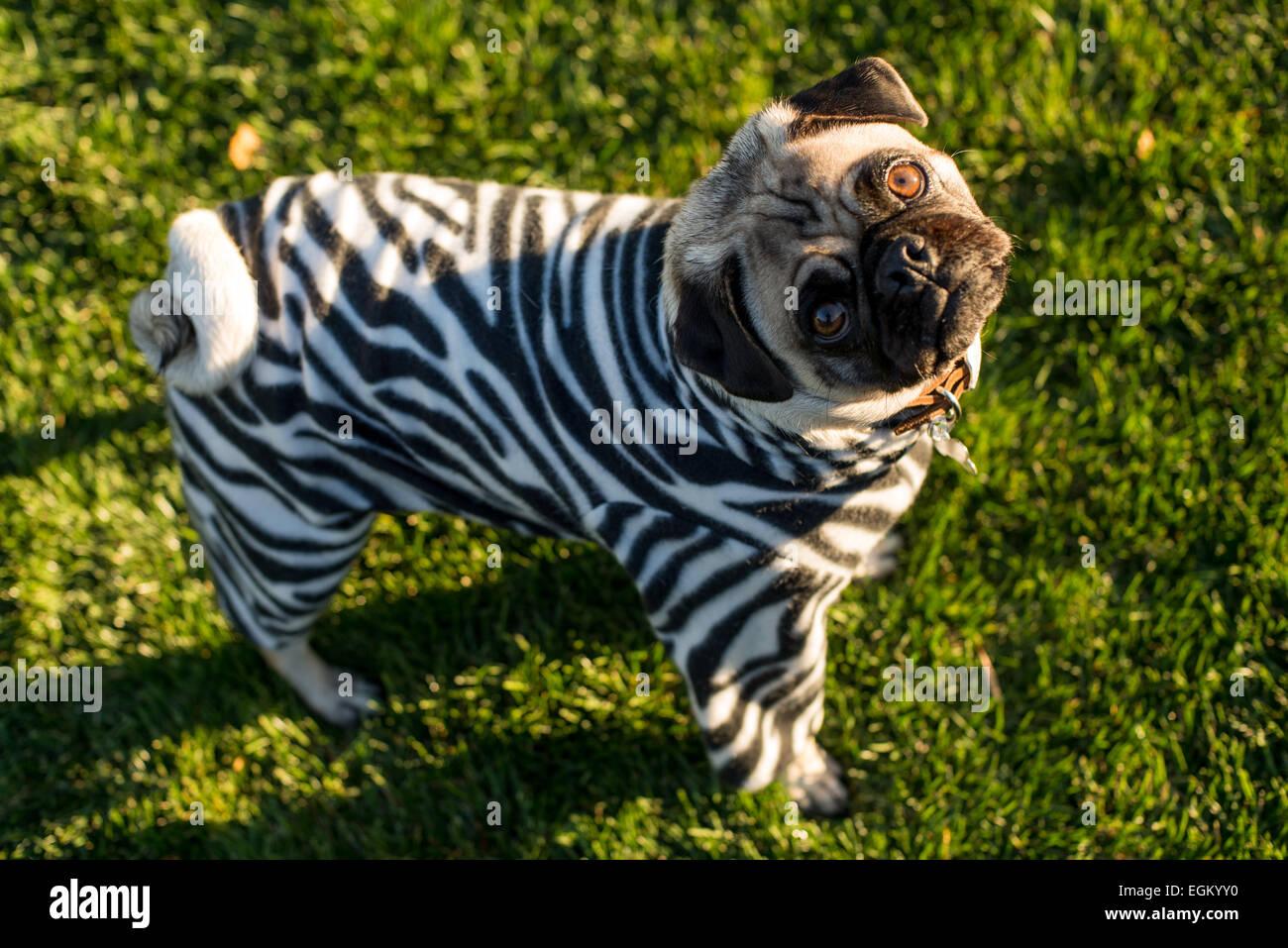 Zebra Pug - Stock Image