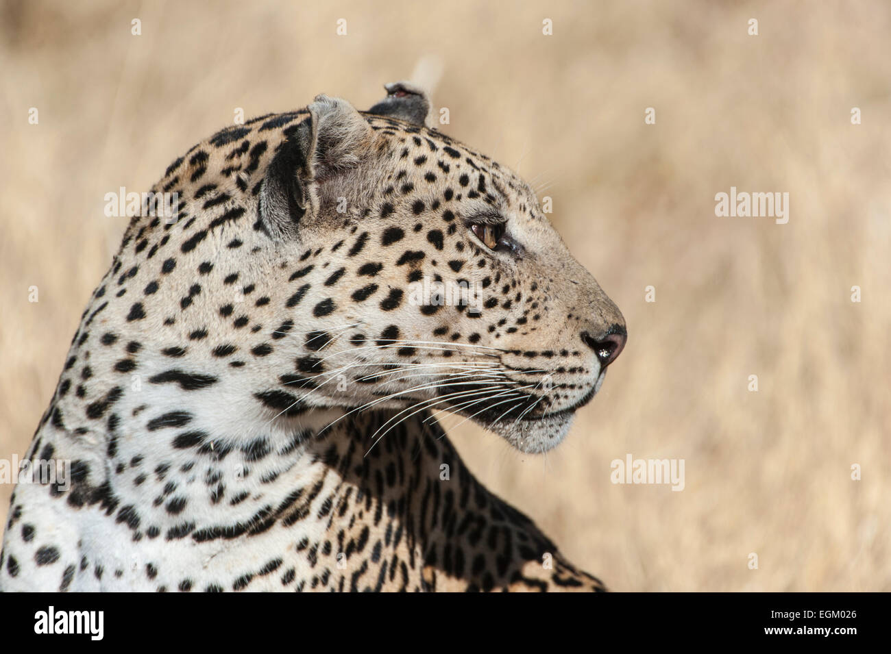 Adult leopard, head and shoulders, colour, - Stock Image