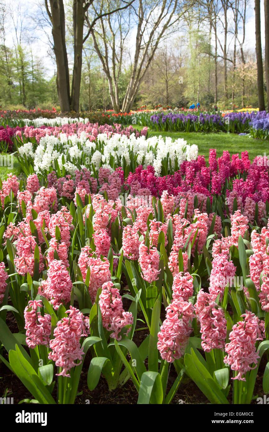 Beautiful spring park Keukenhof. Netherlands. - Stock Image