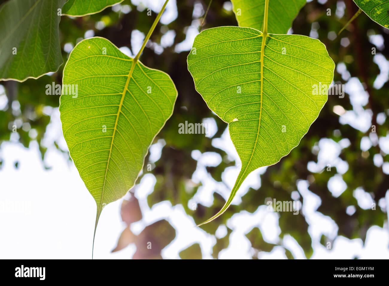 bodhi tree leaves Stock Photo