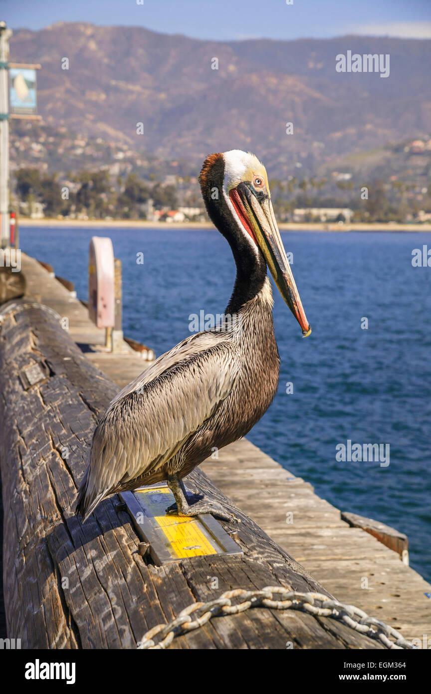 Pelican standing on log in Santa Barbara Pier Stock Photo