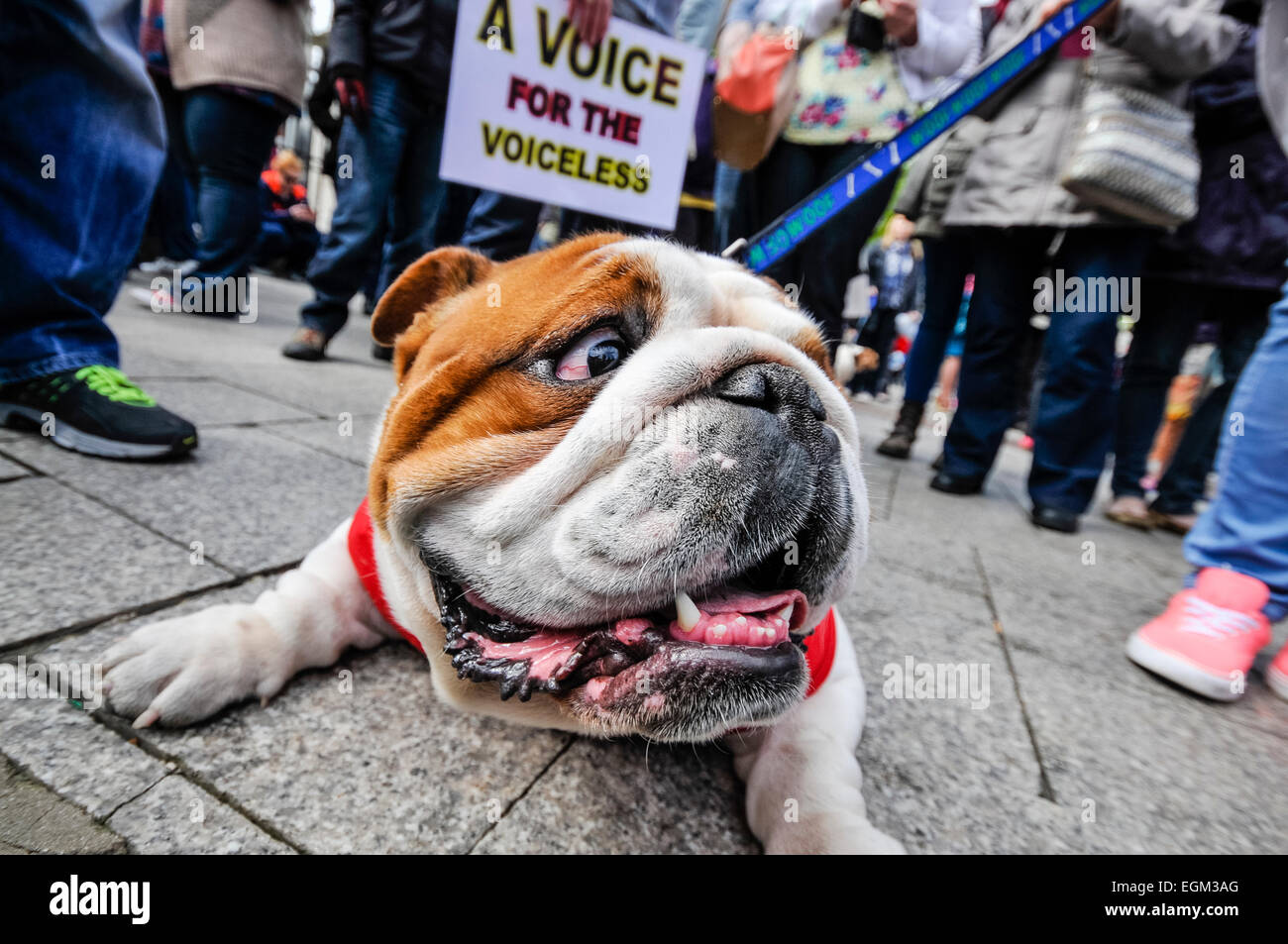 Belfast, Northern Ireland. 27 Apr 2014 - Bulldog lies on the footpath while hundreds of people gather for a rally - Stock Image