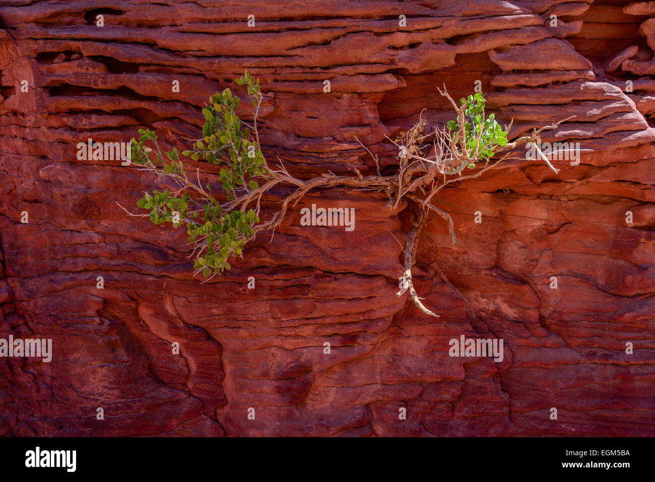 Bush growing in walls of Colored Canyon, Sinai, Egypt. Coloured Canyon is a rock formation and dry riverbed on Sinai - Stock Image