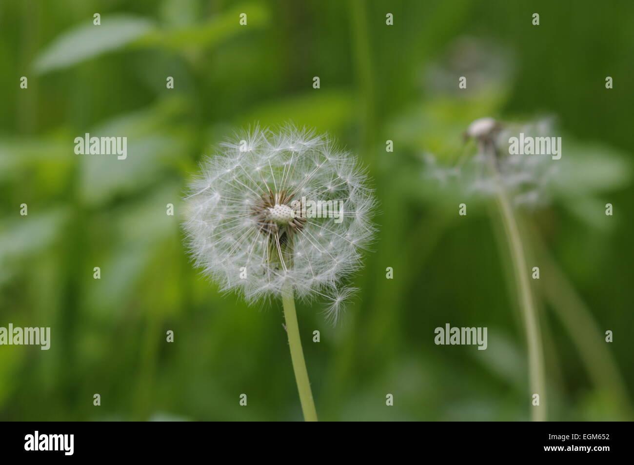 Incomplete dandelions - Stock Image