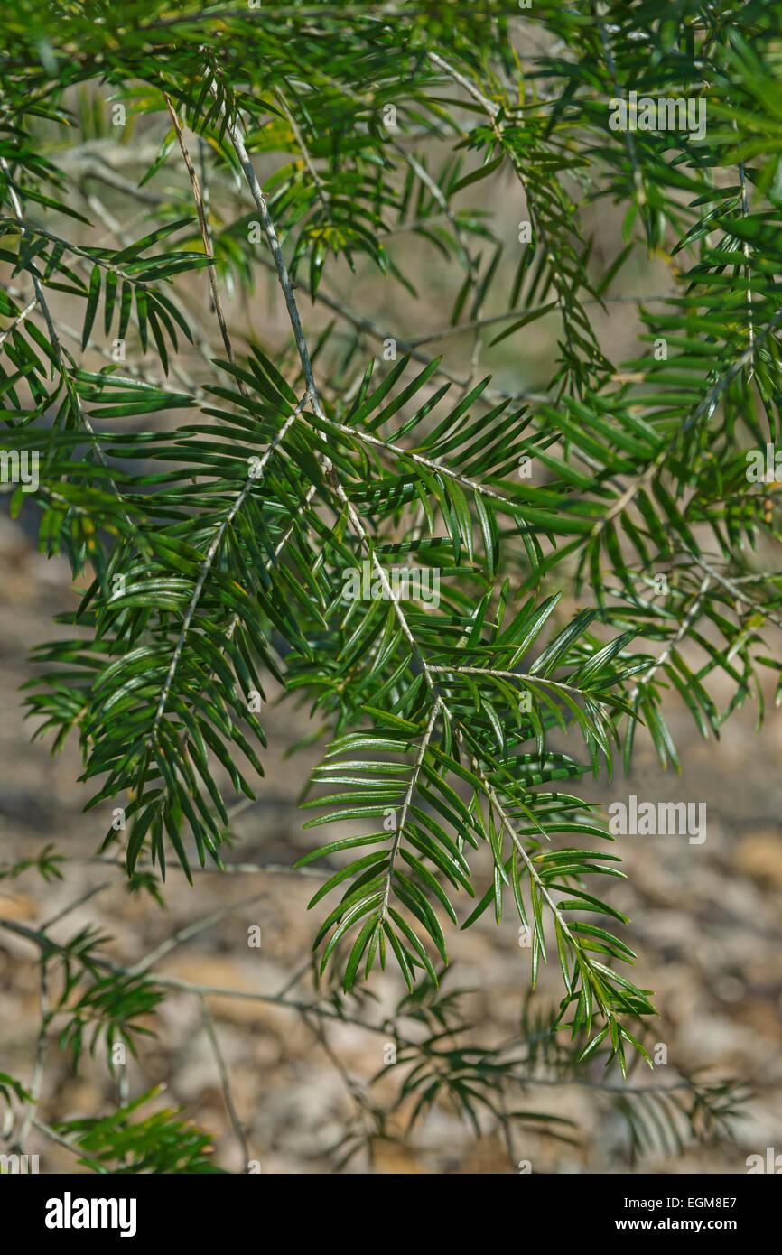 Common keteleeria (Keteleeria davidiana) - Stock Image
