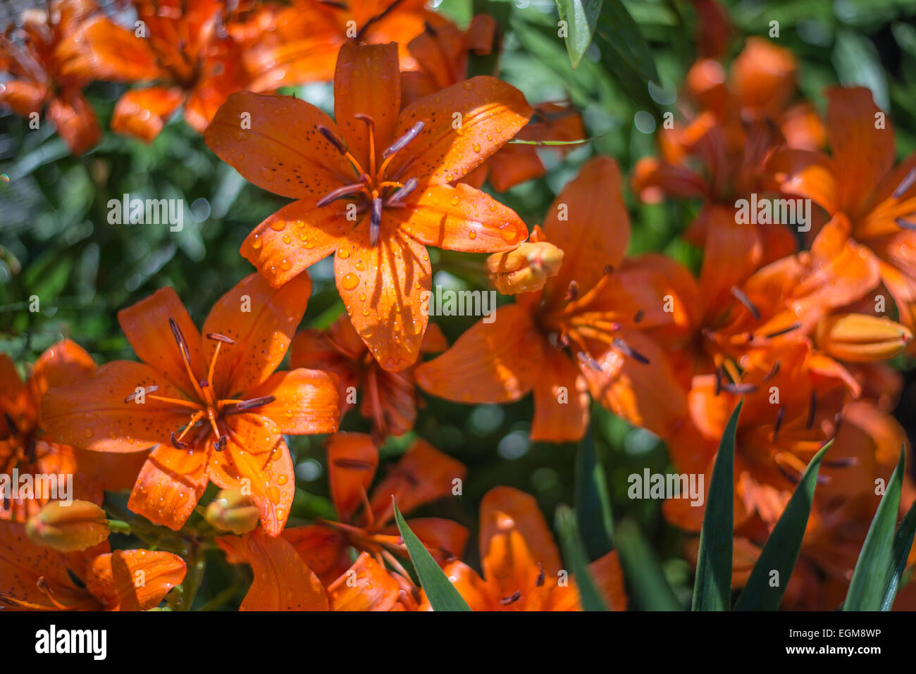 Red iris stock photos red iris stock images alamy a grouping of red iris flowers covered with dew drops stock image izmirmasajfo