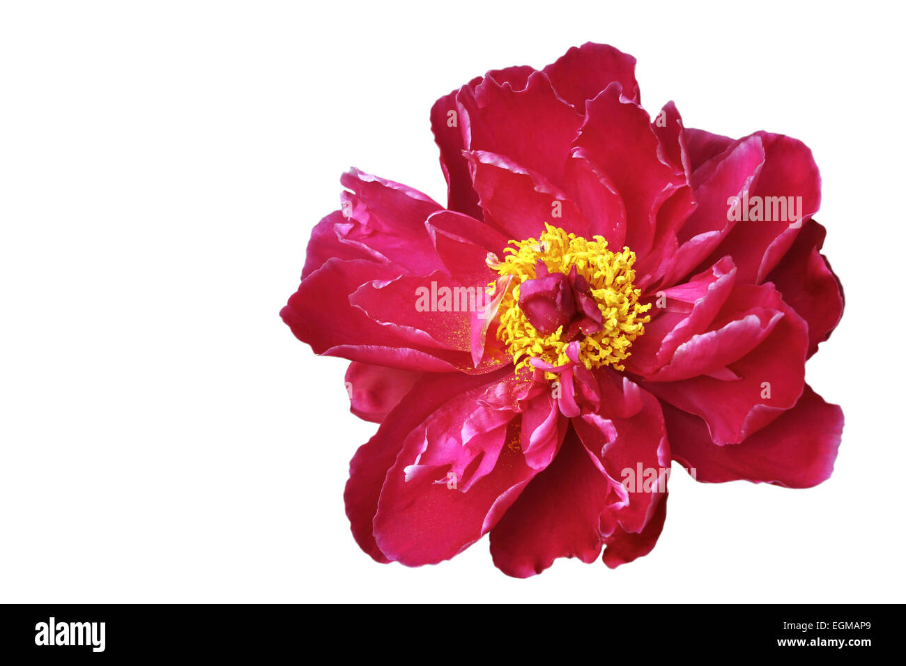 red peony isolated - Stock Image