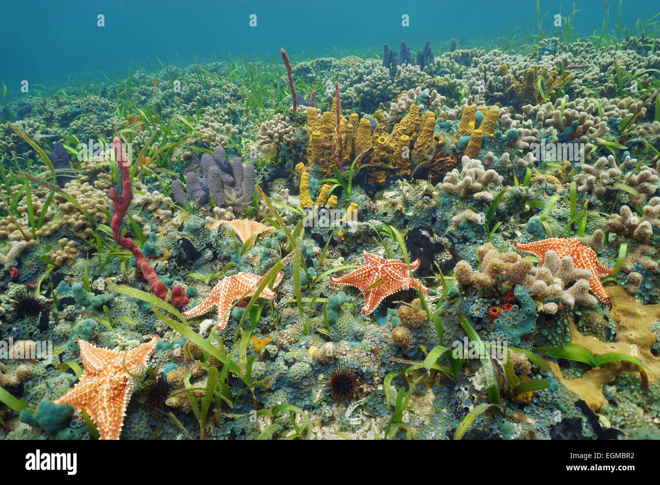 Colorful ocean floor with starfish and sea sponge in a Caribbean coral reef, natural scene - Stock Image