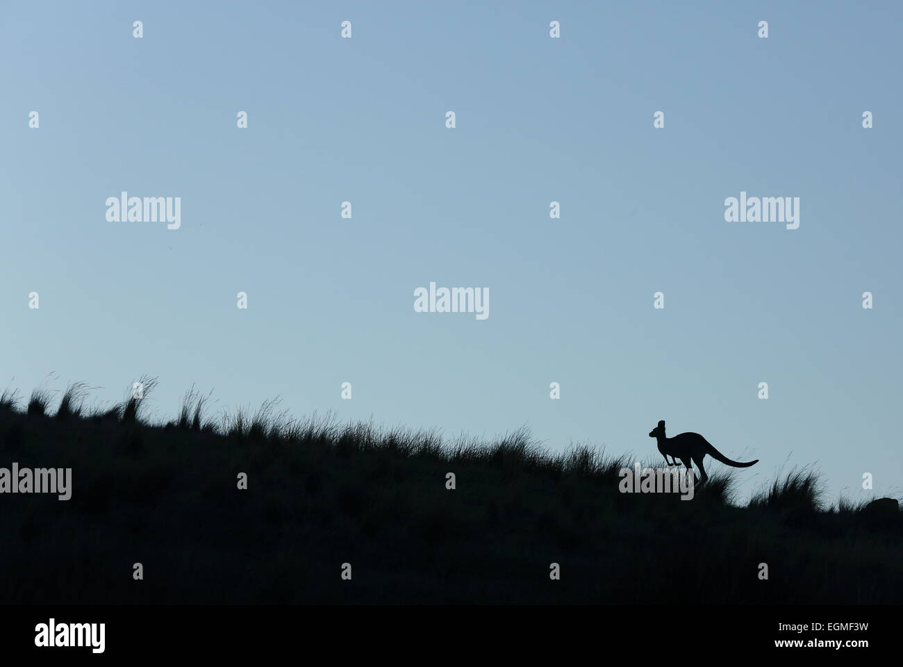 Kangaroo hopping in Australia - Stock Image