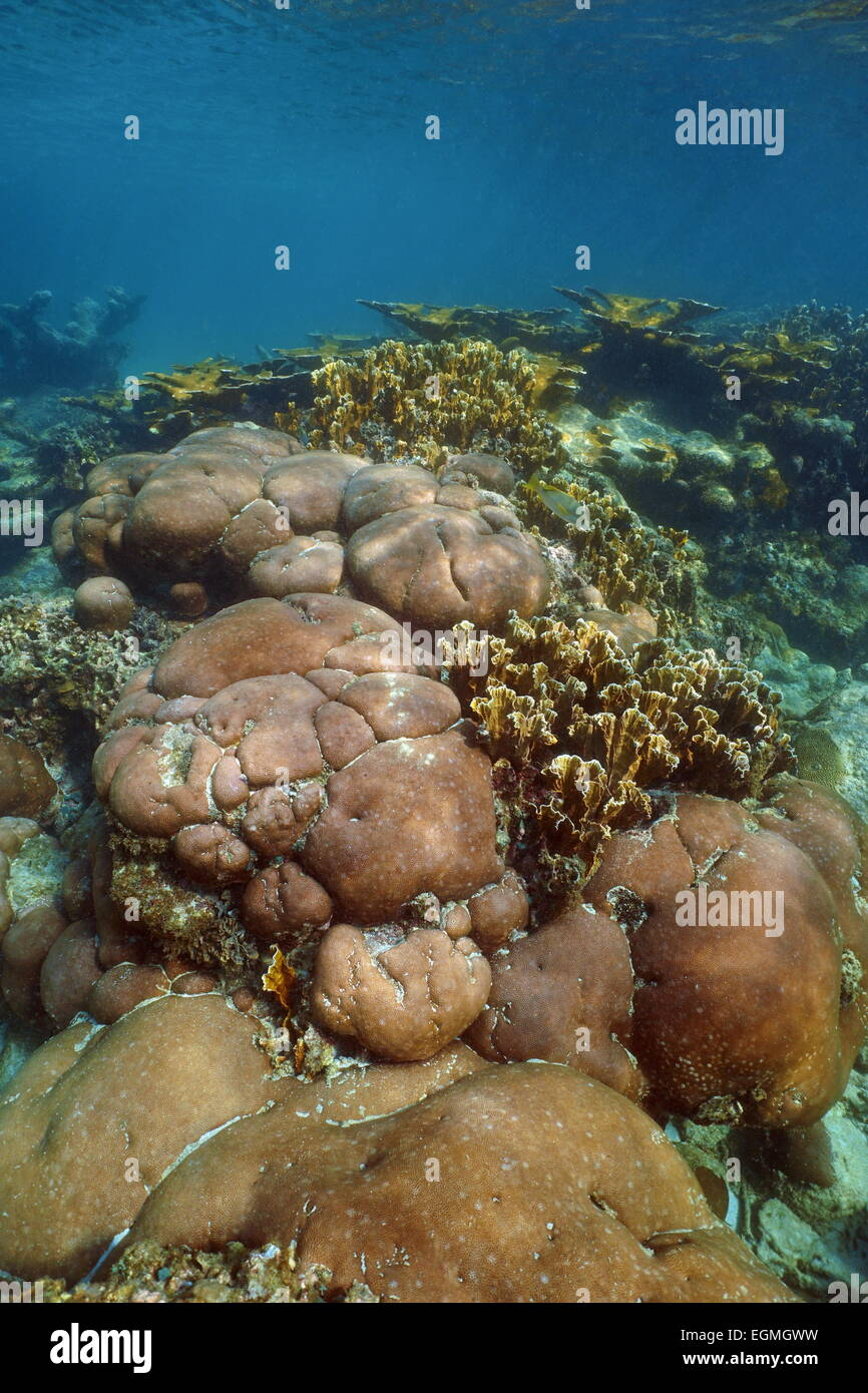 Underwater landscape of stony coral reef in the Caribbean sea - Stock Image