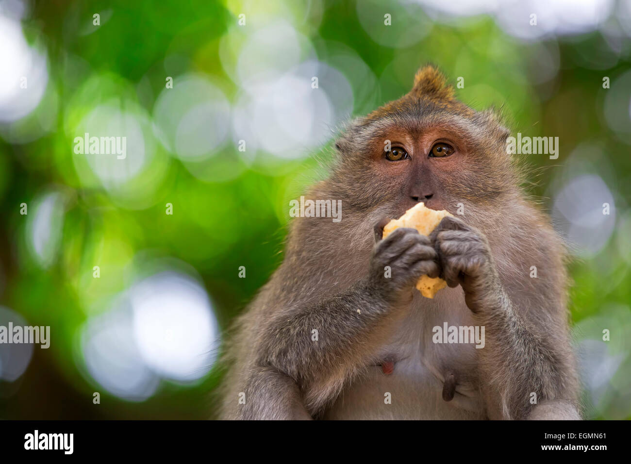 Long-tailed Macaque Monkey - Stock Image
