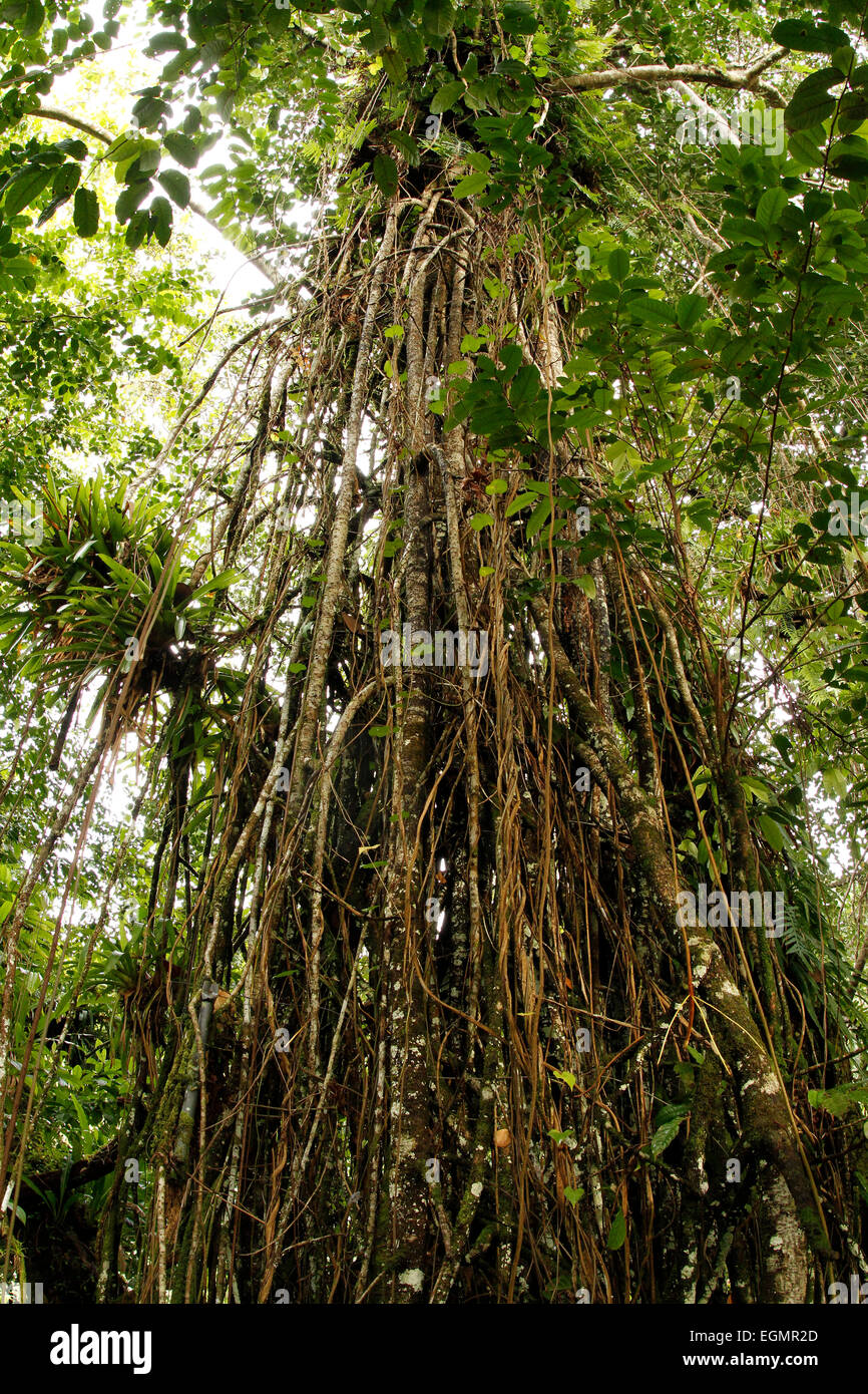 Wonderful Aerial Root Ficus Benjamina - weeping-fig-ficus-with-aerial-roots-in-the-cocos-island-national-park-EGMR2D  Picture_66884.jpg