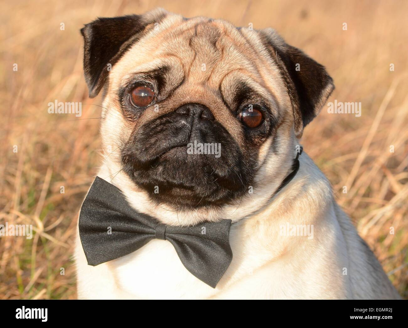 Pug with bow tie among dry grass, Sweden - Stock Image