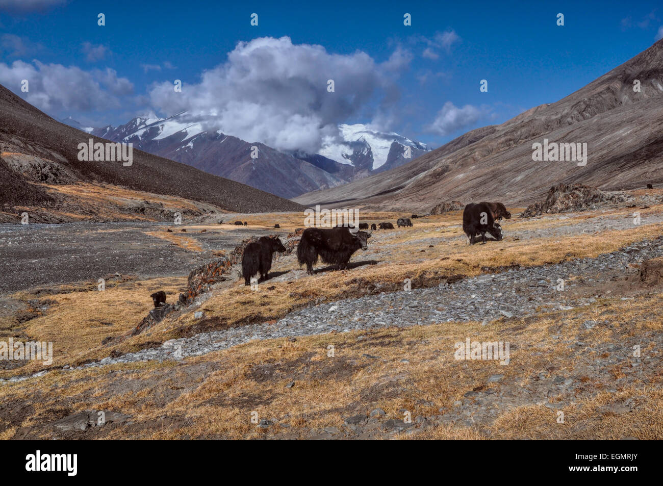 Herd of yaks in Pamir mountains in Tajikistan - Stock Image