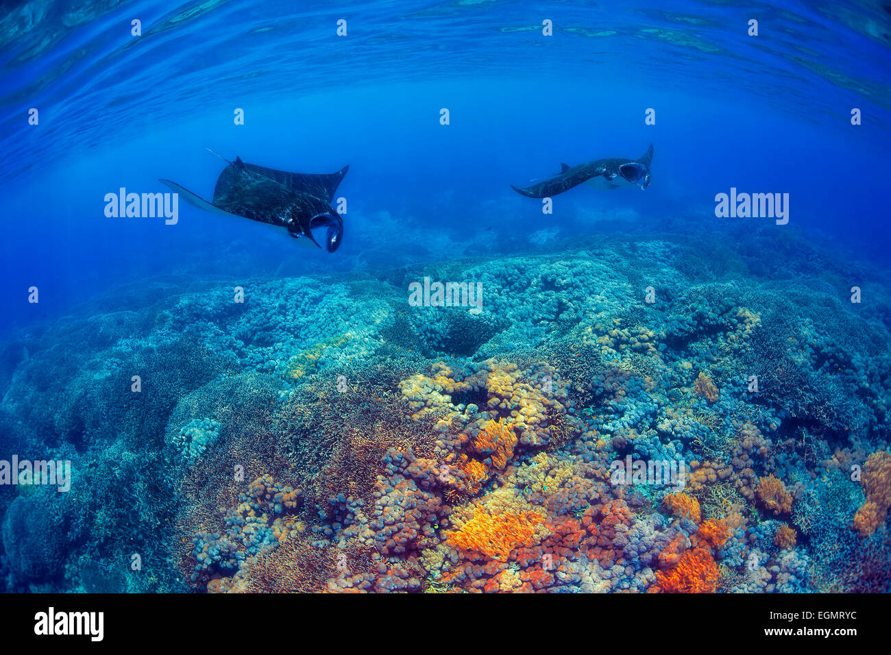Manta Rays Stock Photo