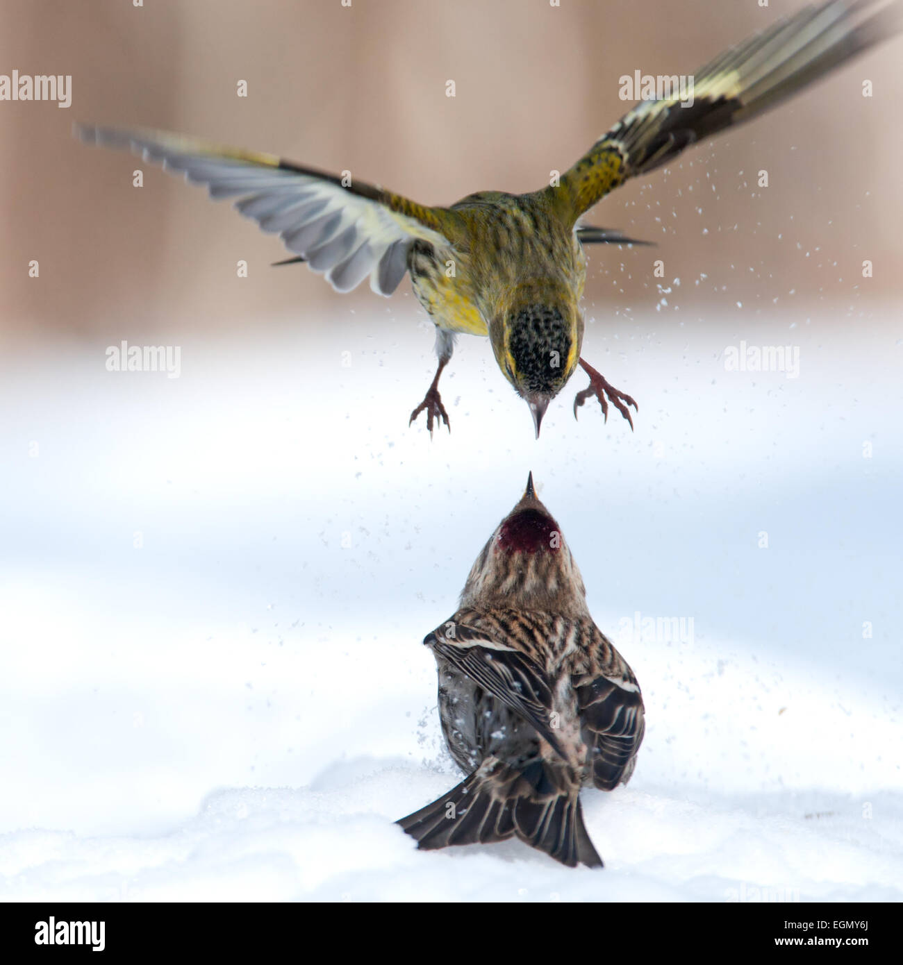 Siskin attacks Redpoll from above - Stock Image