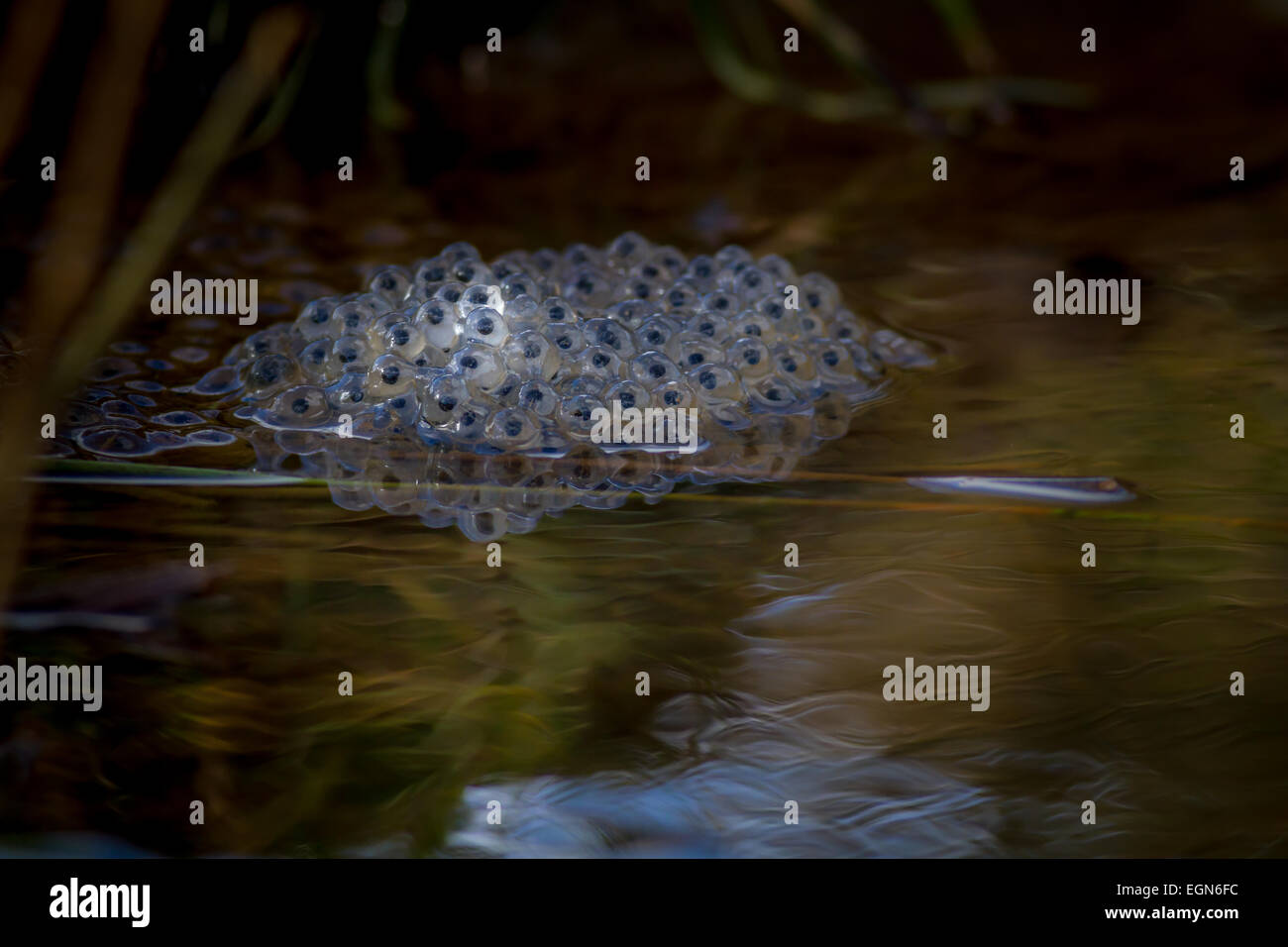 Frog spawn in beautiful light - Stock Image