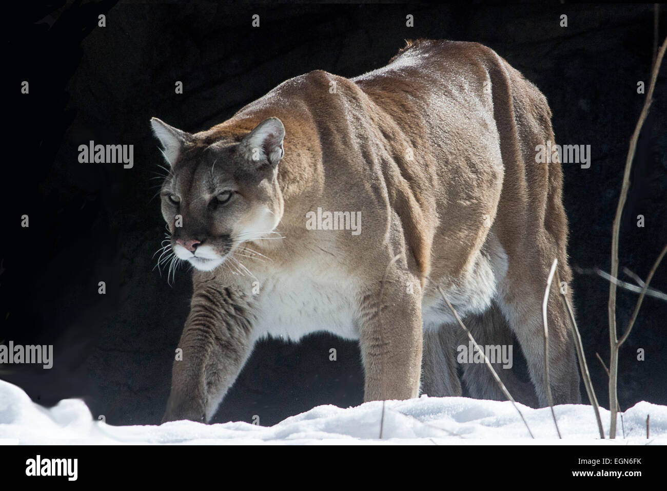 f5cbc3d810cf A young puma strides in the snow under a winter sun Stock Photo ...