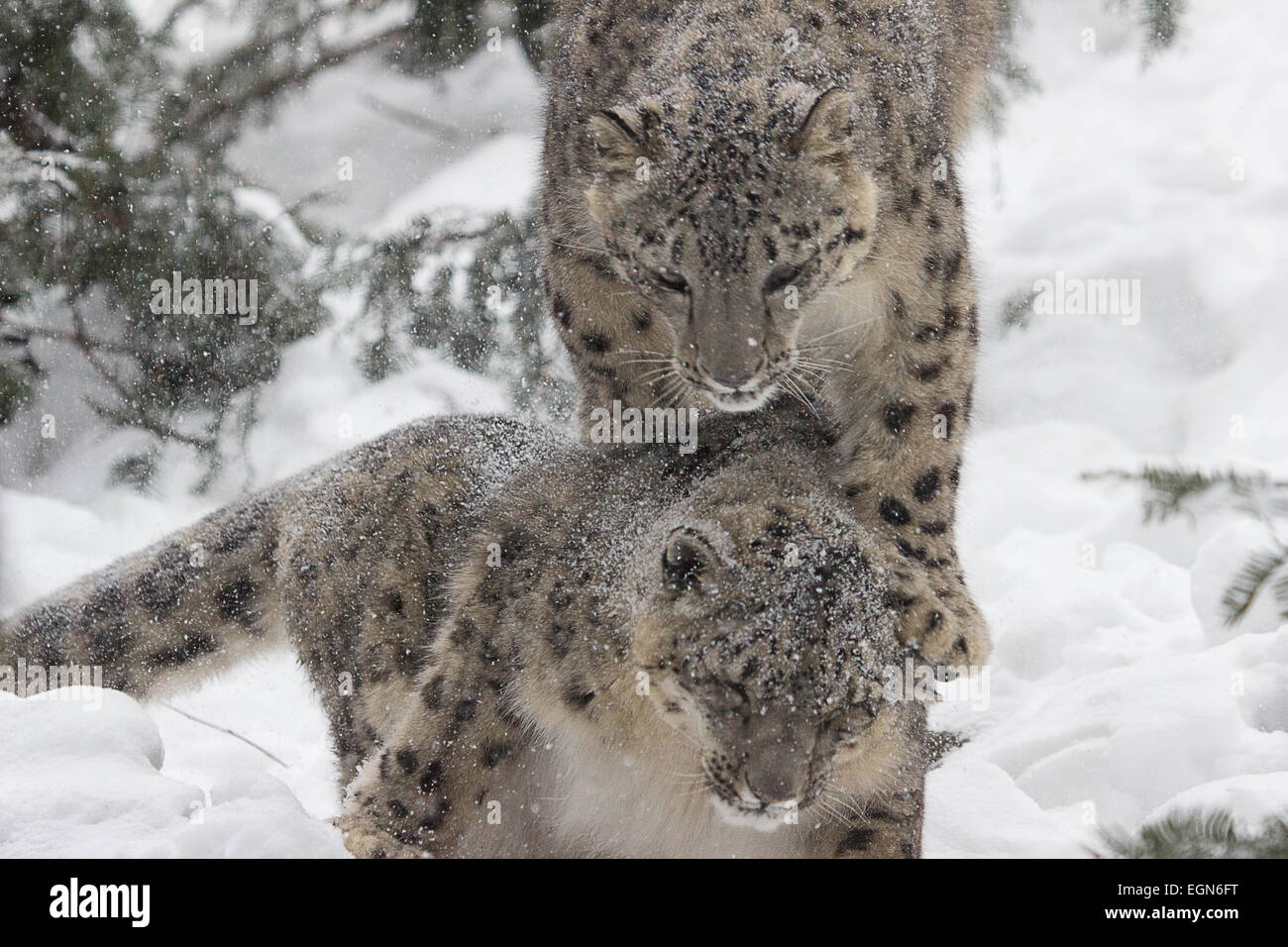 Snow Mates- A pair of snow leopards enjoy each other as they romp in the freshly fallen snow - Stock Image