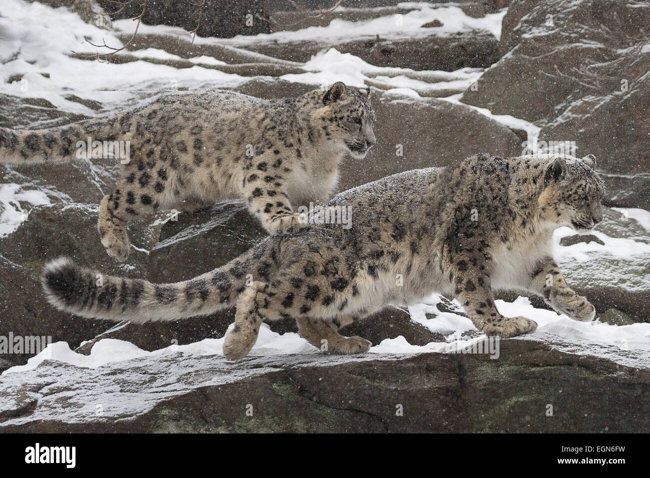 Snow Mates-  A pair of young snow leopards enjoying each other as they bound across the rocks - Stock Image
