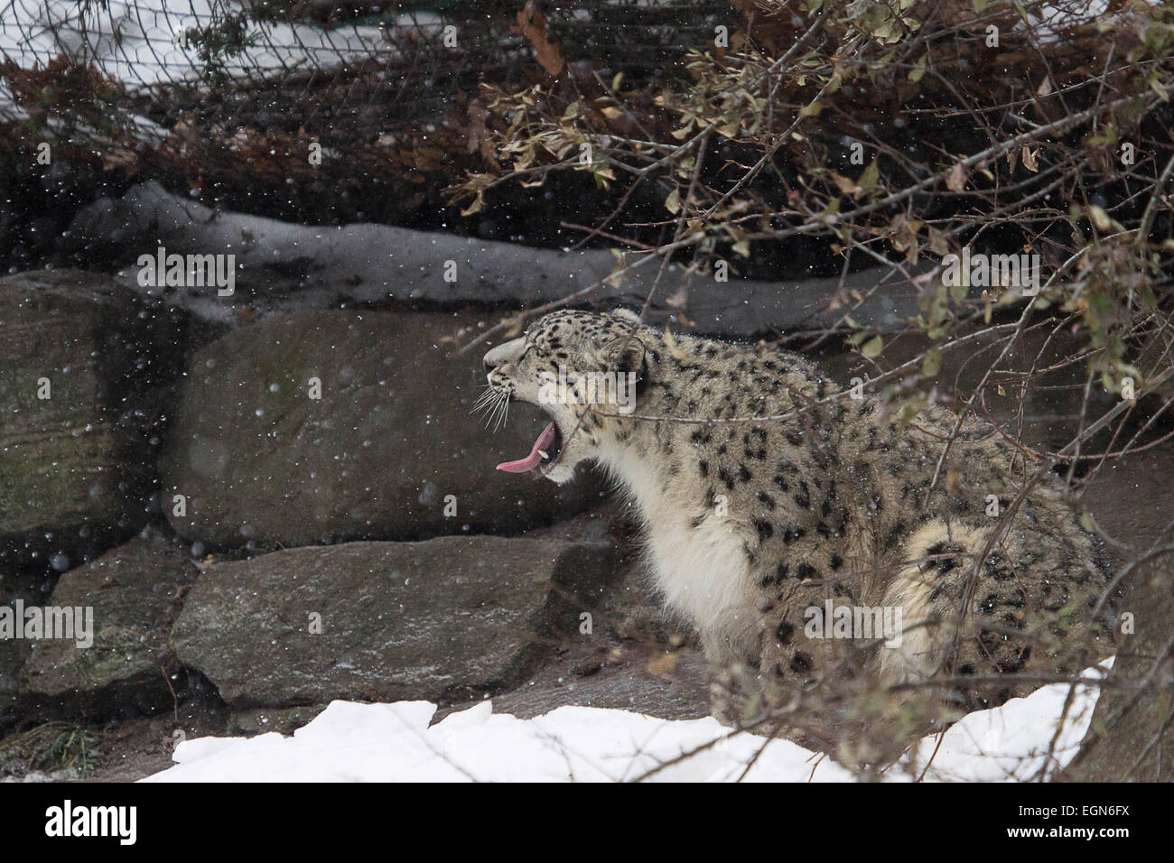 Catching snow- A young snow leopard finds a creative way to quench his thirst - Stock Image