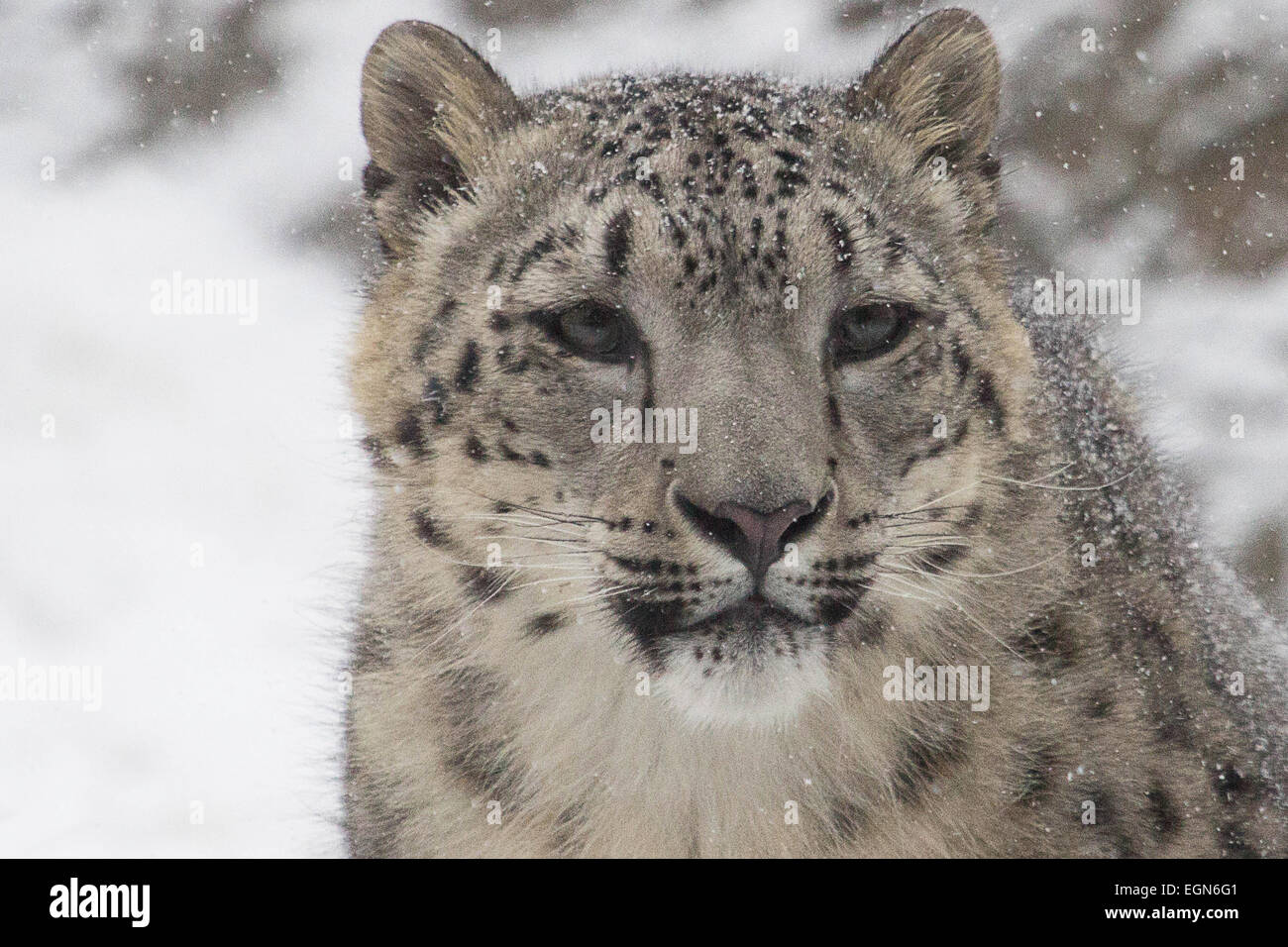 Snow Leopard- A snow leopard stares off in the distance at something beyond the photographer - Stock Image