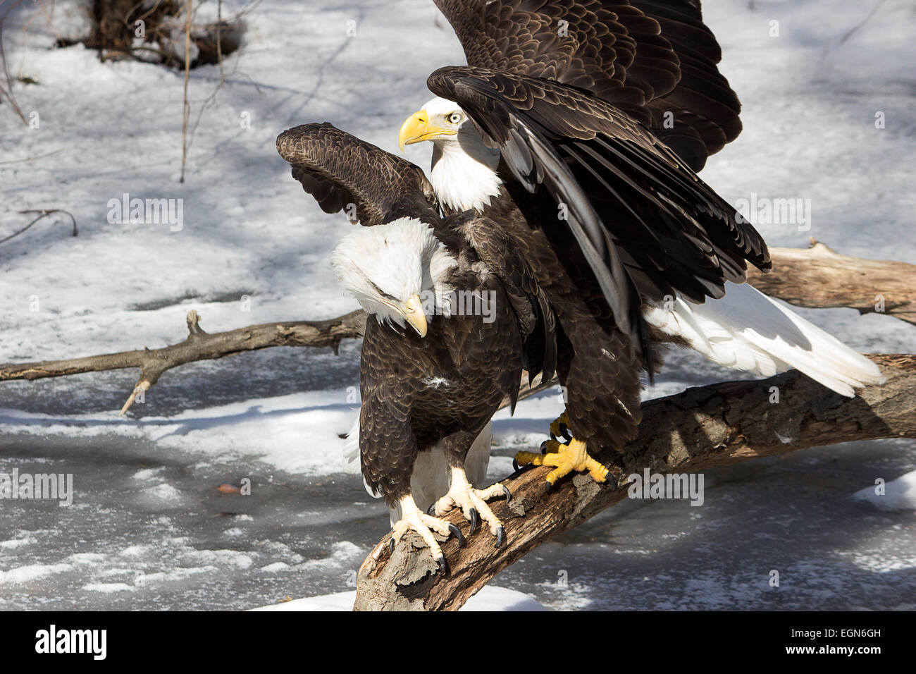 Intimidation- A younger more agressive bald eagle tries to push aside an older bald eagle on a branch - Stock Image