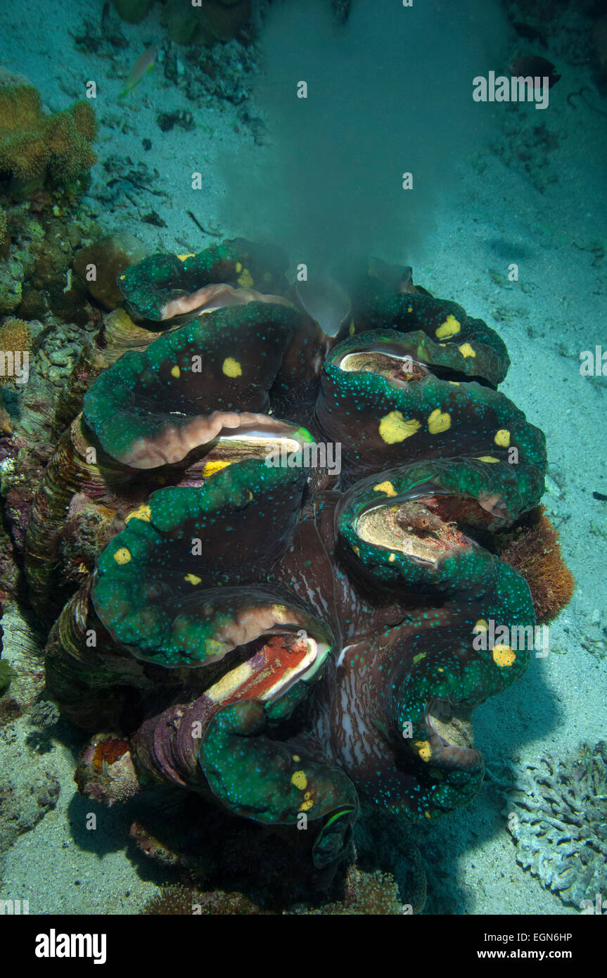 A Giant Clam spawning in the Solomon Islands. - Stock Image