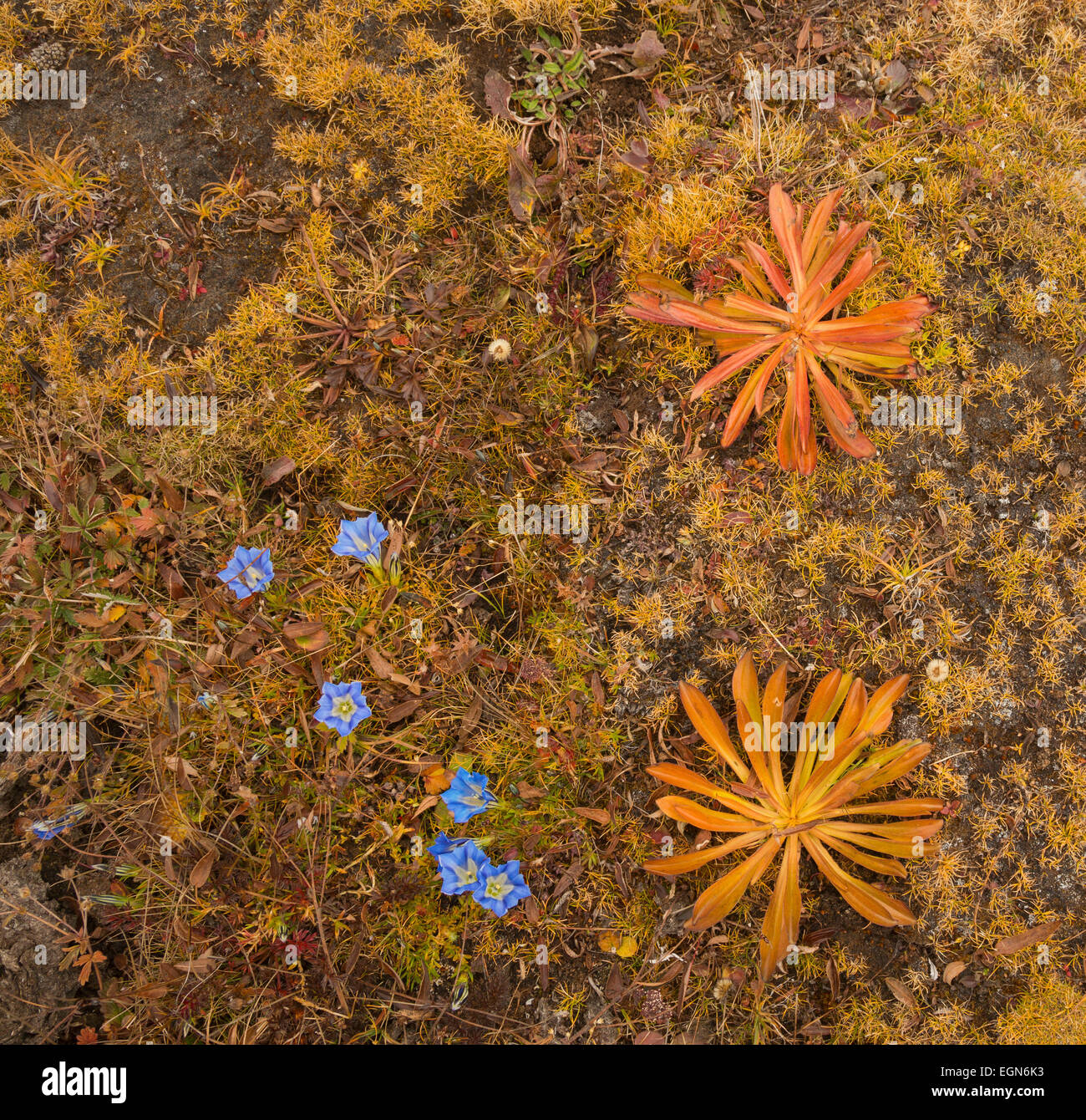 BU00221-00...BHUTAN - Gentians and other small plants growing at 15,000 feet in the Butanese Himalayas. - Stock Image