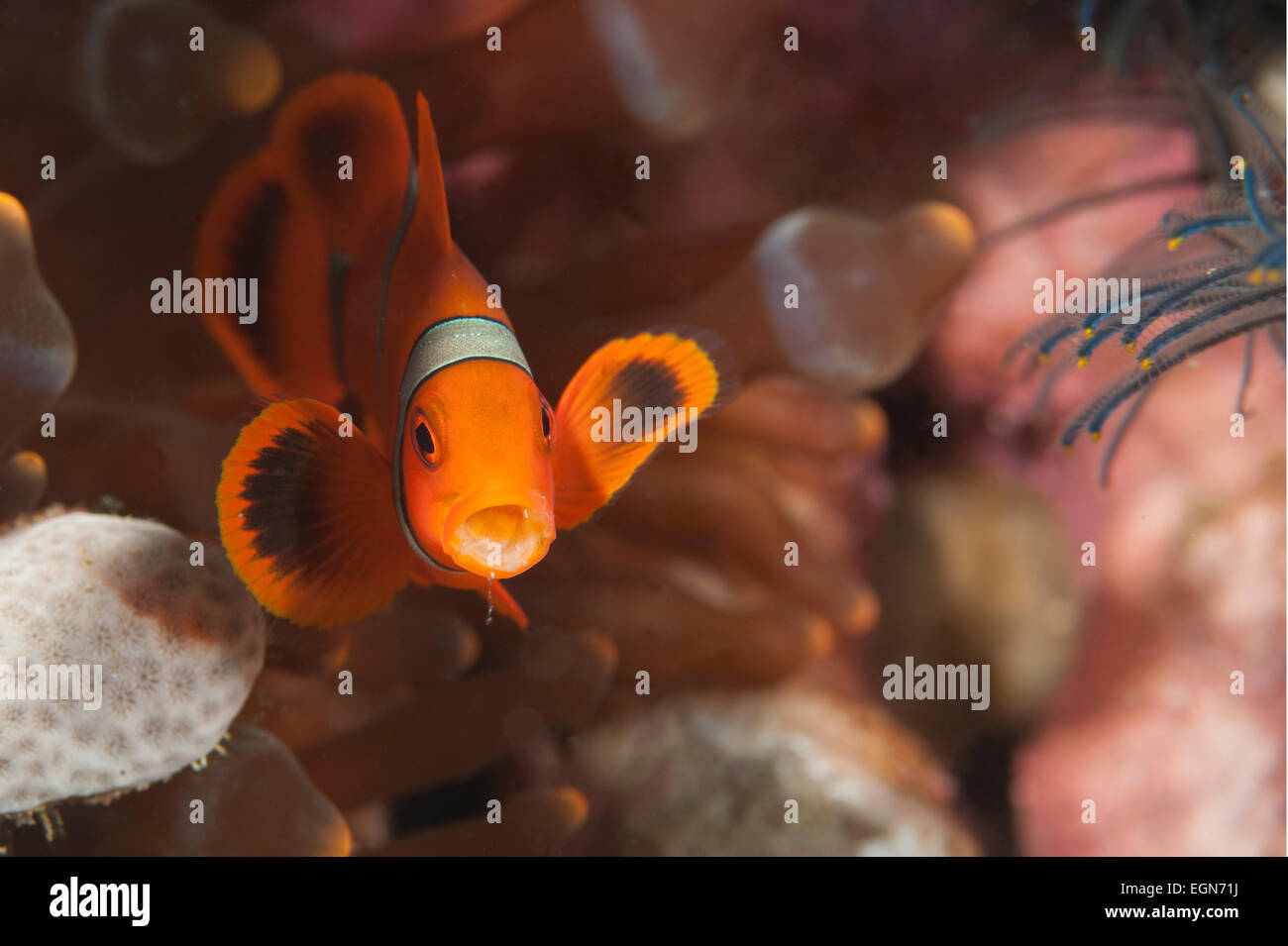 A Spine-cheek Anemonefish with an open mouth on a reef in the Solomon Islands. - Stock Image