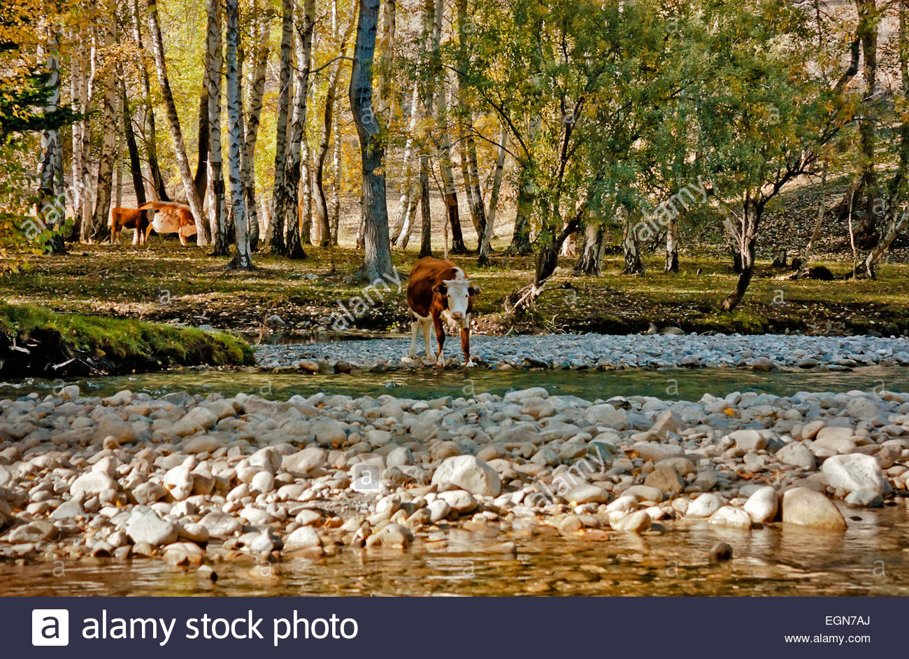 Cow calf drinks water near mountain river in the forest - Stock Image