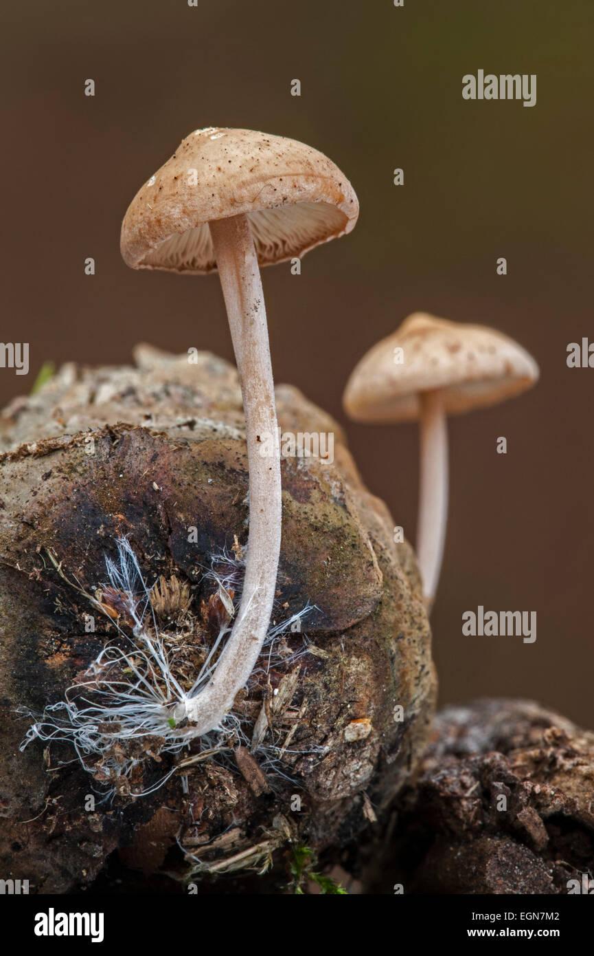 Conifercone cap (Baeospora myosura / Collybia myosura) growing on pinecone and showing mycelium resembling long - Stock Image