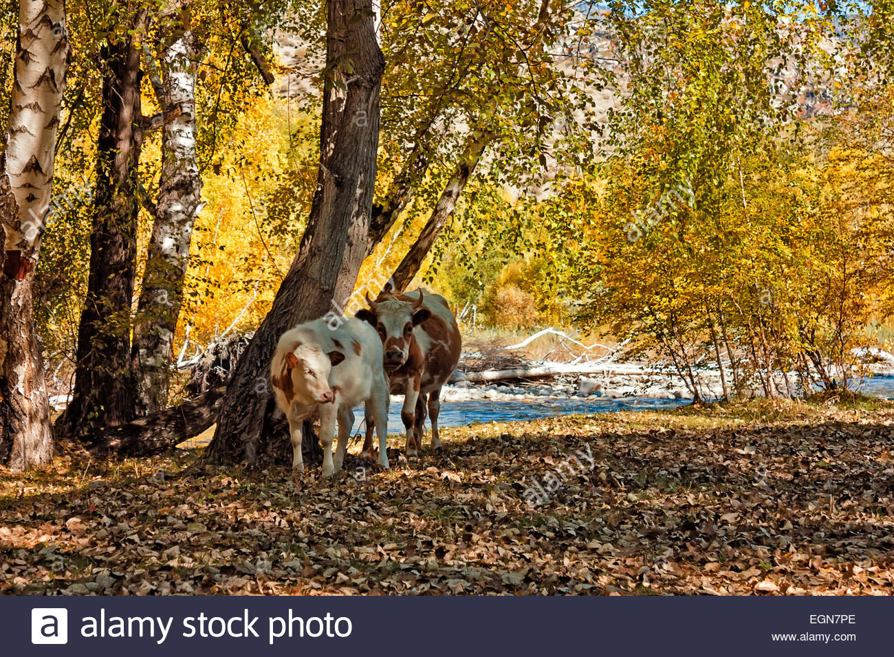 Cows with calf in the autumn forest, birches - Stock Image