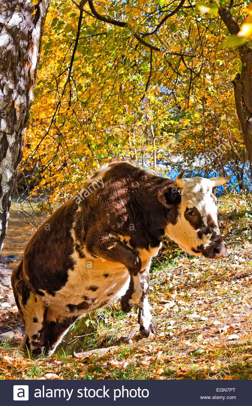 large Cows in the autumn forest, birches - Stock Image