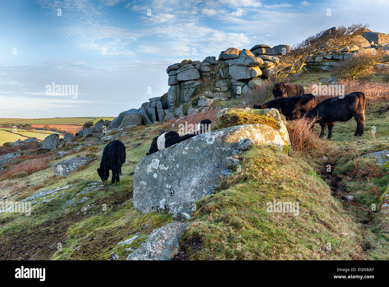 Cattle grazing at Helman Tor a wild patch of moorland near Bodmin in Cornwall which makes up part of the Saints Stock Photo