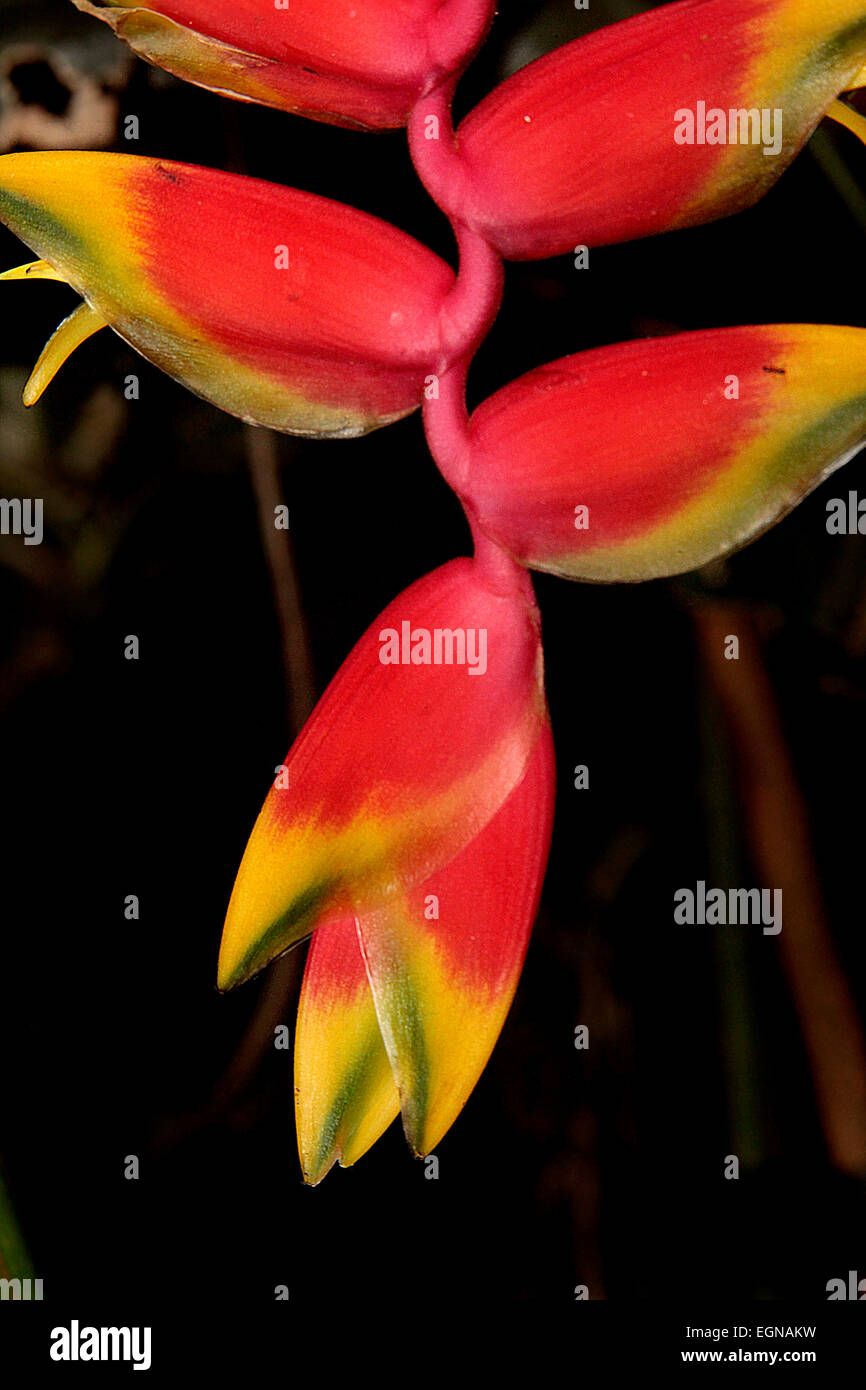 Pendula Lobster Clow (Heliconia rostrata) - Stock Image