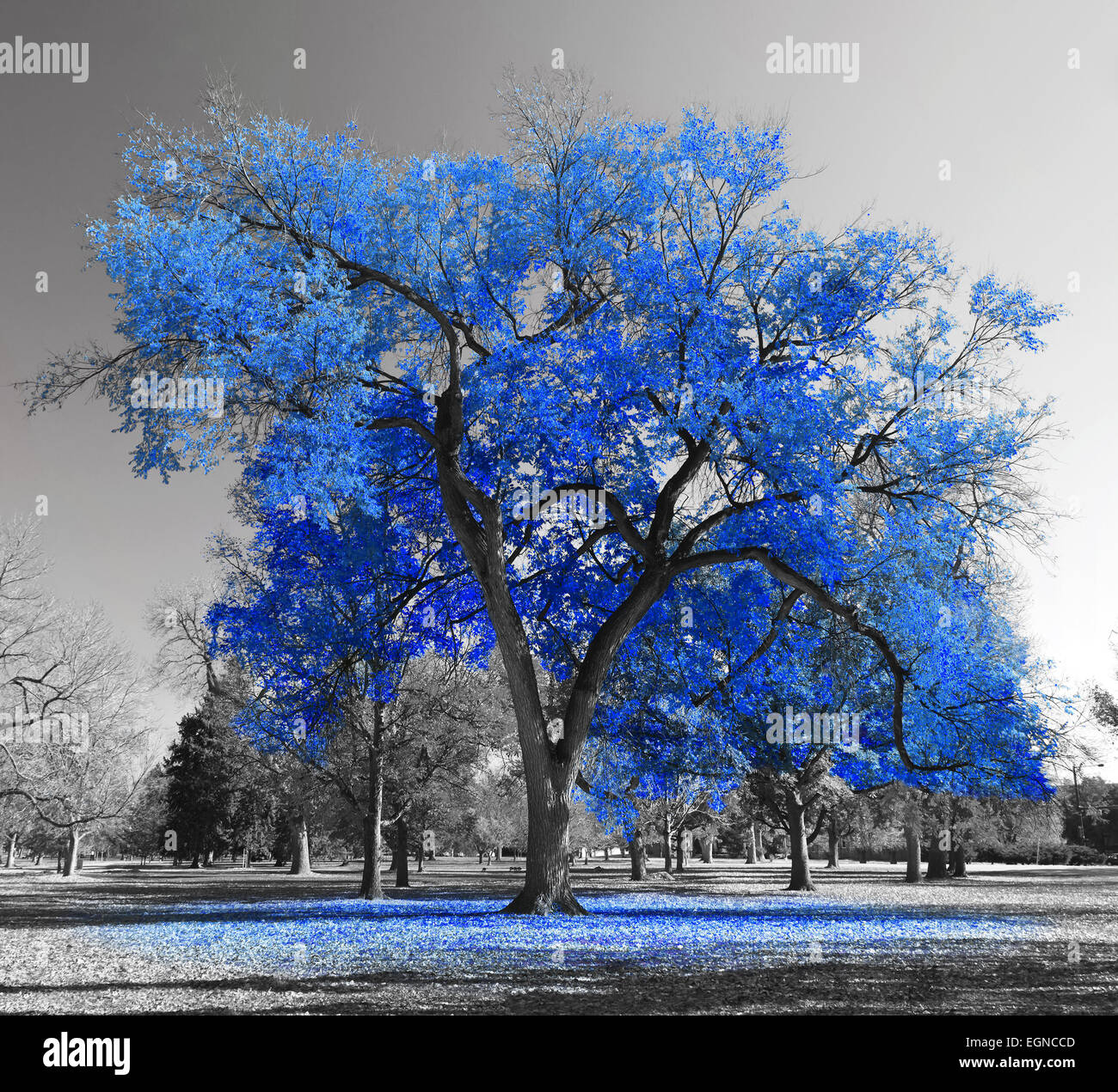 Big blue tree in a black and white landscape - Stock Image