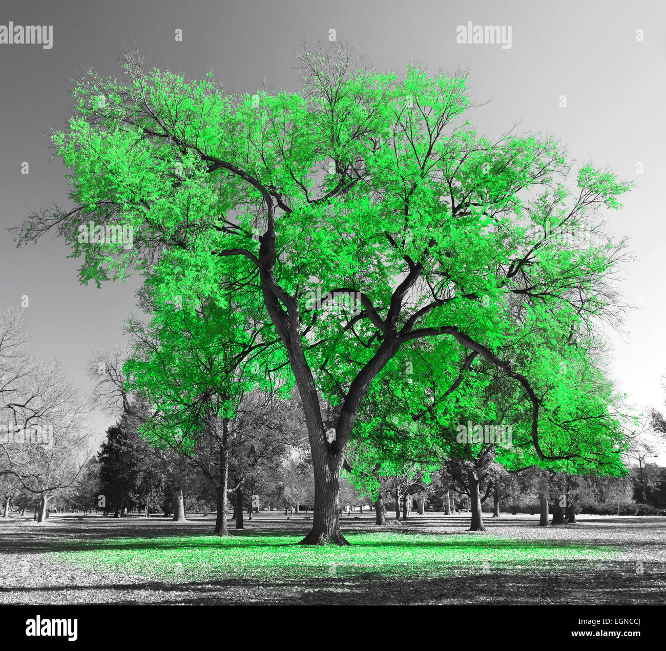 Big green tree in a black and white landscape - Stock Image