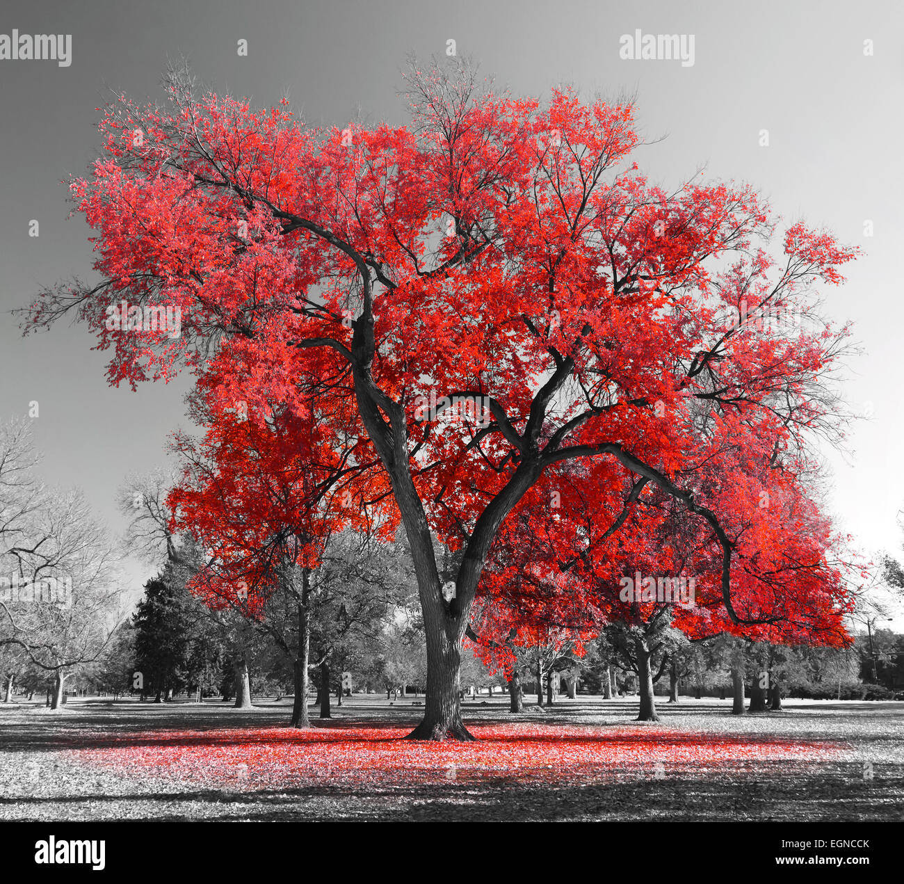 Big red tree in a black and white landscape - Stock Image
