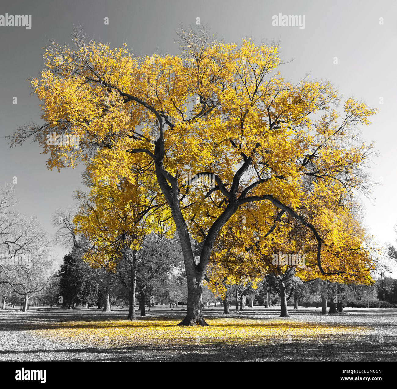Big yellow tree in a black and white landscape - Stock Image