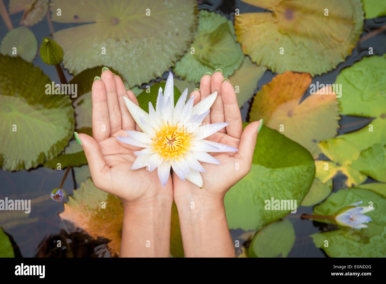 Woman Hands Holding Lotus Flower Waterlily Against Leaves Background