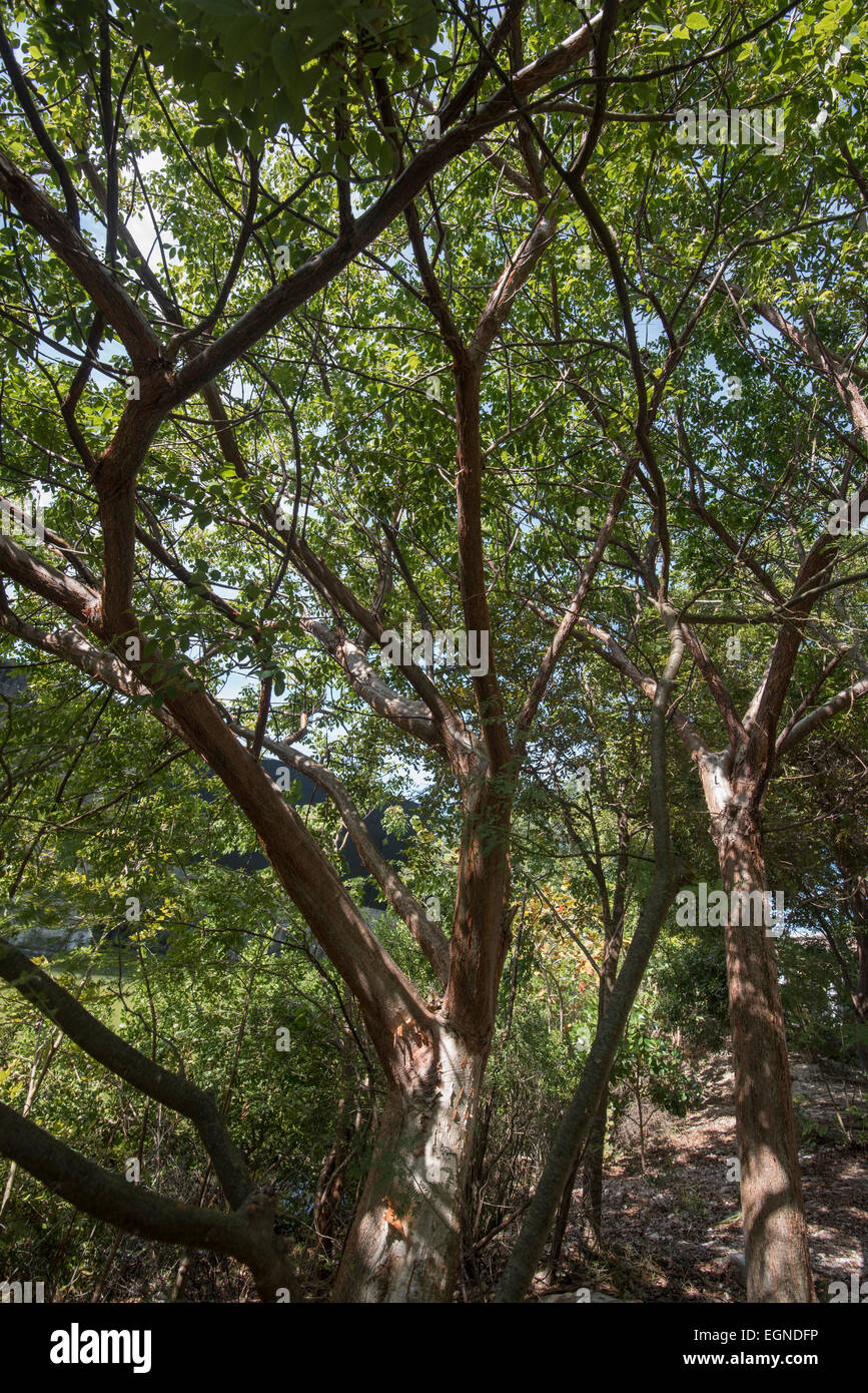 A gumbo limbo tree in Key West - Stock Image