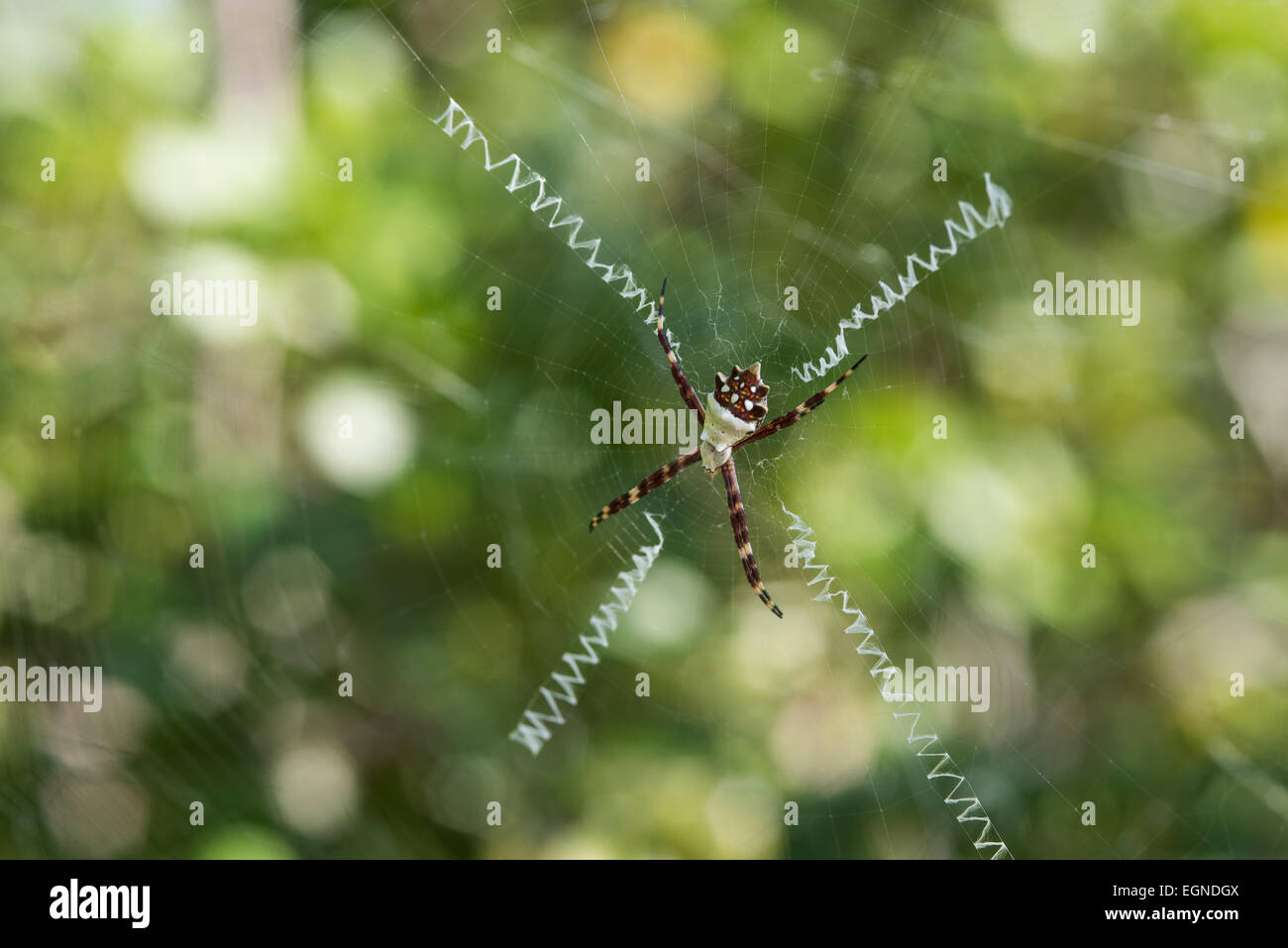 A silver argiope spider in it's hallmark x-shaped, zippered web. - Stock Image