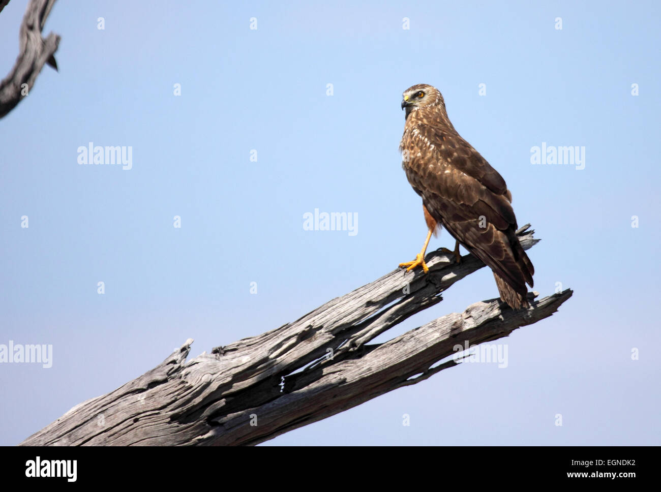 African marsh harrier perched on dead branch of tree in Botswana - Stock Image